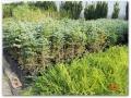 plante-de-gradina-12