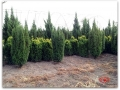 plante-de-gradina-16