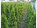plante-de-gradina-21